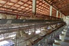 Foram usadas 240 aves no experimento.