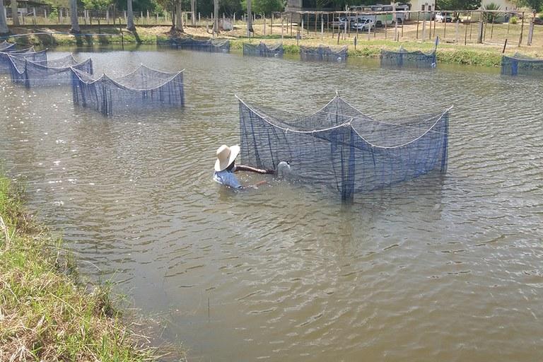 Uenf e Campus Cambuci iniciam experimento que pode auxiliar o produtor na criação de peixes